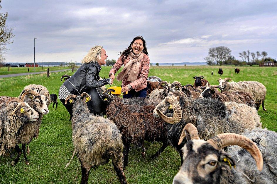Grevinde Alexandra har rejst fra Skagen til Skarø for at undersøge opfattelsen af lykke. Her sammen med Gitte Loftlund og en flok gutefår på Skarø.
