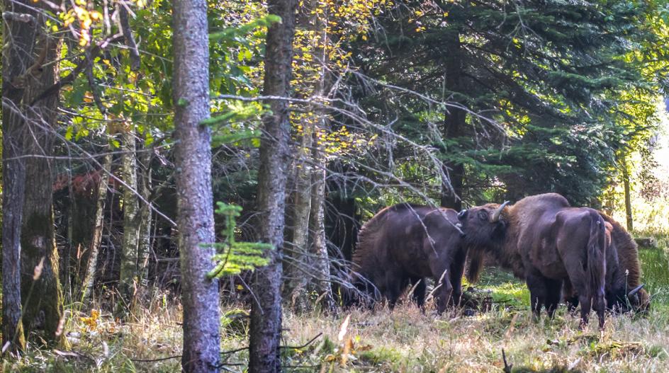 Bisoner i Bisonskoven i Almindingen på Bornholm, hvor de er en stor publikumssucces og samtidig gør gavn for skovens biodiversitet. – Foto: Rune Engelbreth Larsen/fra bogen.