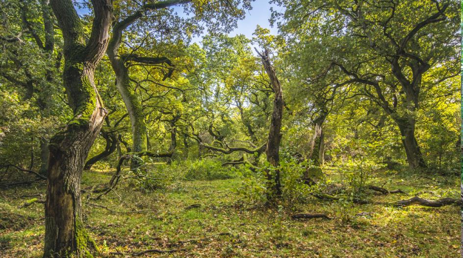 Langå Egeskov er urørt, hvilket vil sige, at al skovhugst er ophørt, og træerne får lov til at vokse, ældes og dø naturligt til gavn for masser af andre arter. – Foto: Rune Engelbreth Larsen/fra bogen.