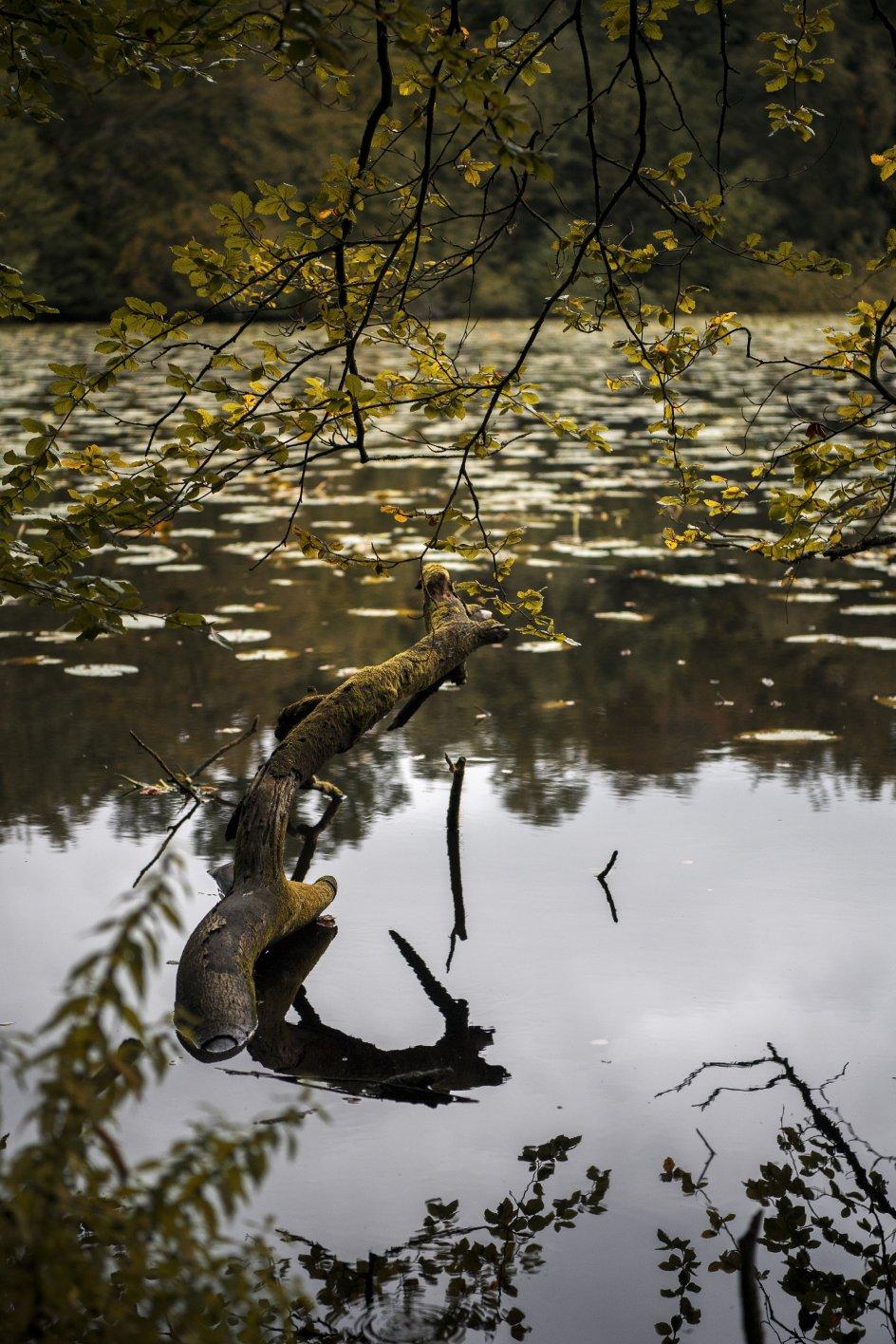 """I """"Sensommervise"""" kruser søen """"mystisk og sort"""" på overfladen. I dag er den stille og fuld af store, grønne pletter, åkander, der har spredt sig med årene."""