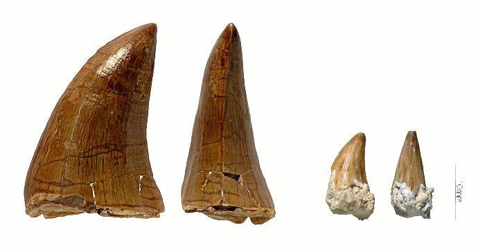 De to nye tænder fra havøglen Prognathodon.