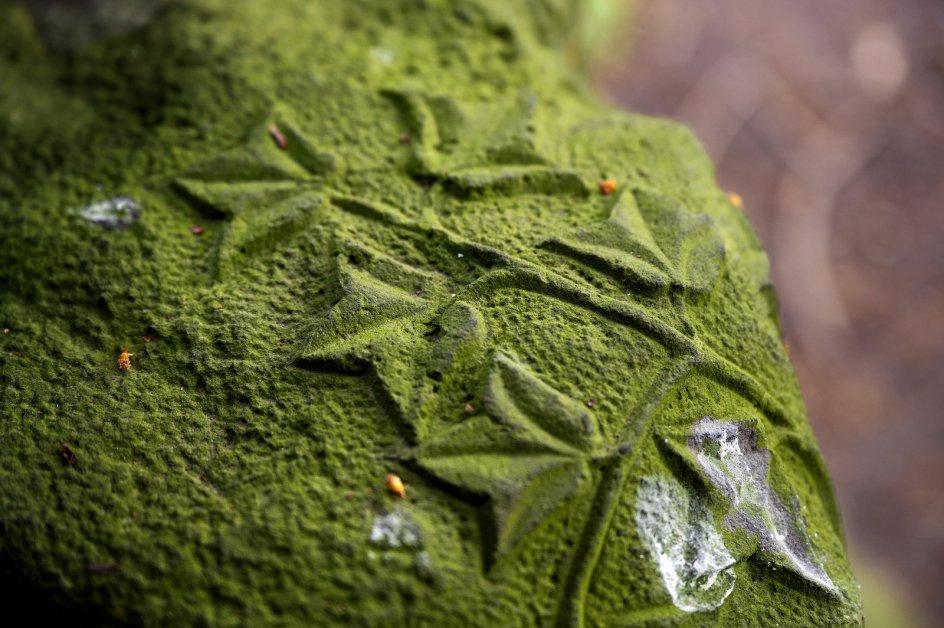 Mange af stenene på den ældre del af kirkegården på Assistens Kirkegård i København er dækket af et tykt, grønt lag plys. Alger kommer, så snart der kontinuerligt drypper vand ned på noget, for eksempel fra træer, forklarer Rikke Bjarnhof.