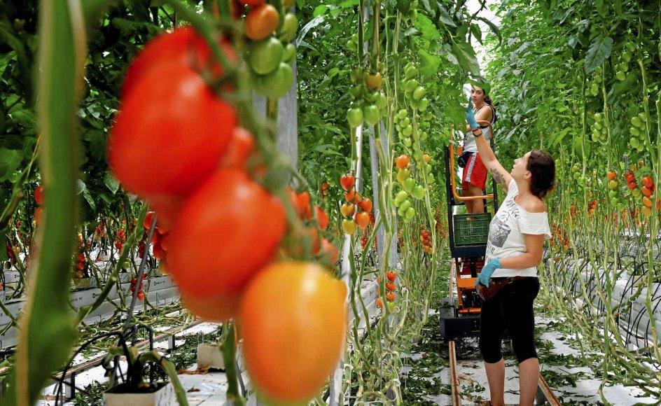 Især italiensk landbrug har brug for migranter til at høste alle mulige former for afgrøder – som her tomater. Men mange migranter er nu gået under jorden på grund af corona og frygten for at blive udvist. Billedet er fra et tomatgartneri i Gavorrano i den vestlige del af Toscana.