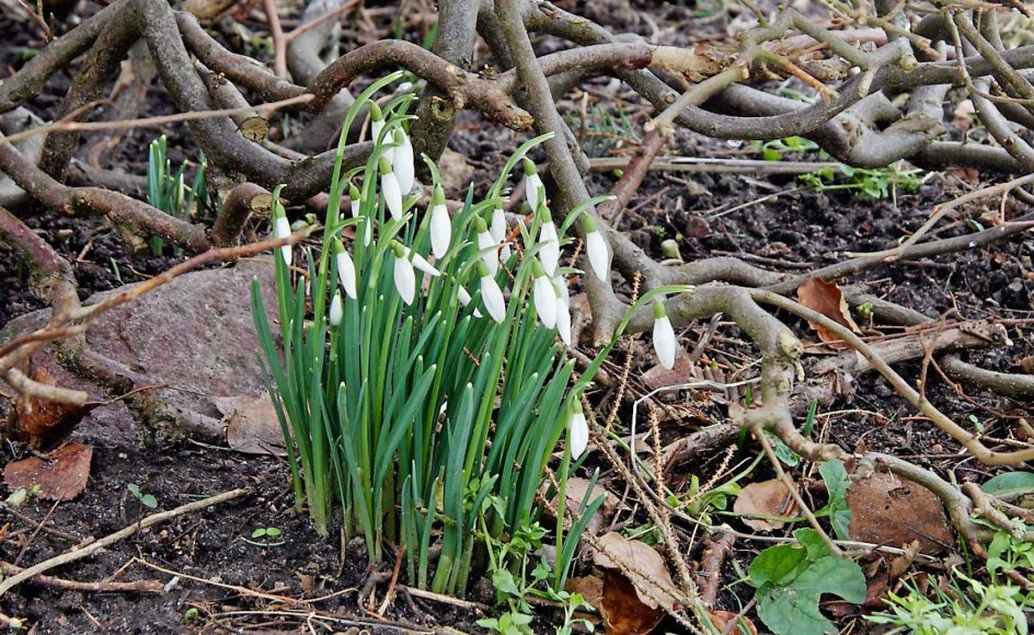 En klump vintergækker under hækken giver håb om snarlig forår. Bag gækkerne en lille marksten, som har samlet varme til blomsterne. Se flere billeder ved at klikke på pilen til højre i billedserien