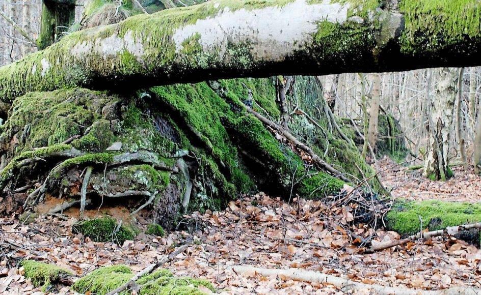 Orkanen i 1967 tog godt fat i løvtræerne, fordi der i oktober stadig var blade på træerne. De gamle bøge i Almindingen faldt på stribe.