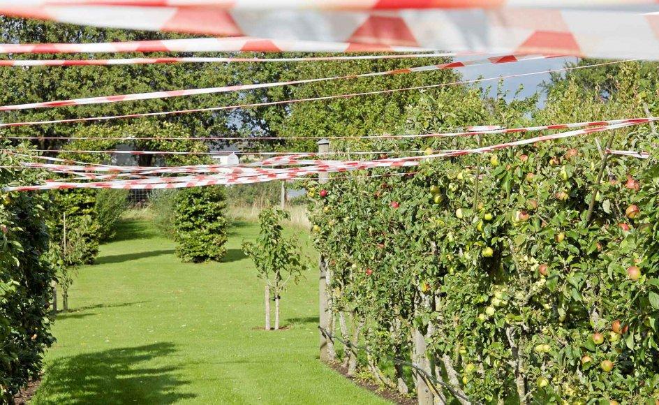 Plastbånd trukket mellem to rækker æble-espalier holder måske fuglene på afstand. - Alle fotos: Mette Østergaard.