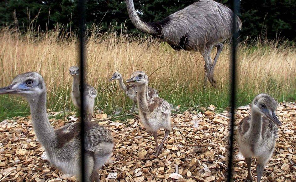 Biologer troede, at den sydamerikanske nandu ikke ville overleve som en fri fugl i Tyskland. Her er et eksemplar samt unger i fangenskab i Frydenlund Fuglepark i Tommerup på Fyn.