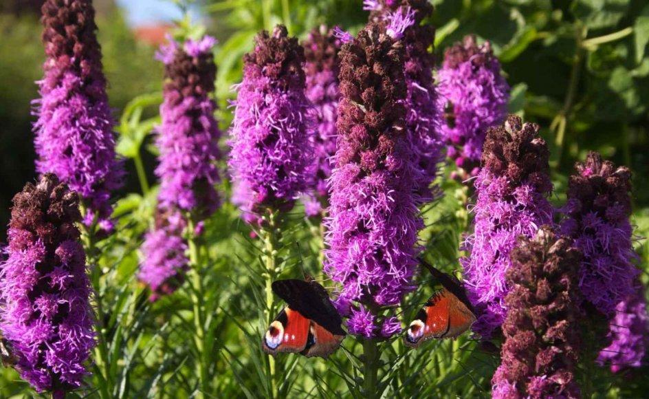 Rigtig mange forskellige blomster gemmer på nektar, og mange blomster får besøg af sommerfugle. Deriblandt langakset pragtskær. --