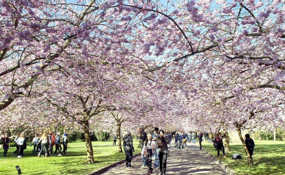 Japanske kirsebærtræer blomstrer på Bispebjerg Kirkegård i København. Den overvældende allé er blevet udflugtsmål for både danske og udenlandske turister.