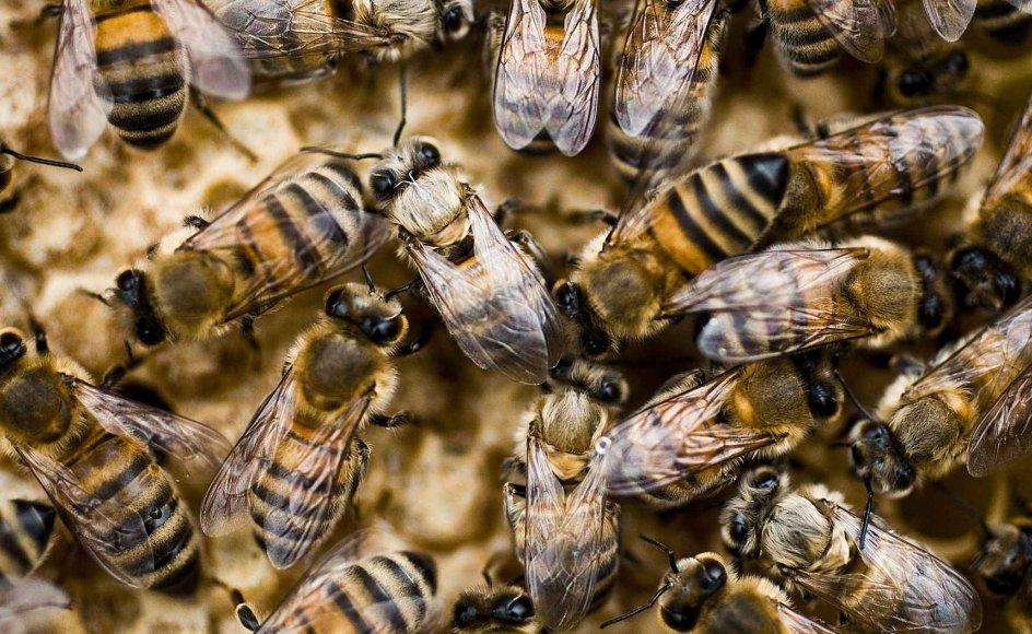 Landets biavlere oplever uforklarlige dødsfald i deres bifamilier. Forskere peger på, at det er flere forskellige samspillende faktorer, der er årsag til dødsfaldene.