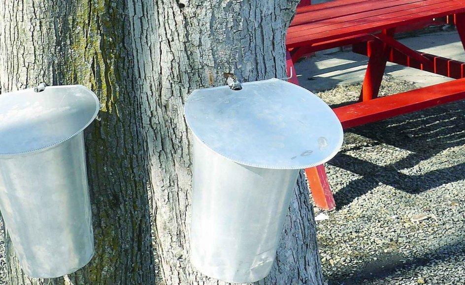 """Fra begyndelsen af marts til slutningen af april glimter alumimumsspandene i solen mellem de slanke ahorntræer. Det er """"sukkertiden"""", som man kalder høstsæsonen i Quebec. -"""