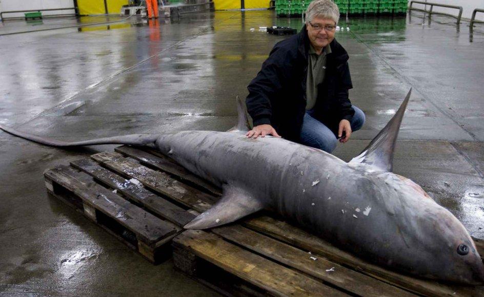 Sjælden haj fanget ved Anholt