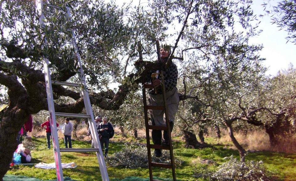Under de næsten sølvglinsende oliventræer arbejdes der hårdt med at slå frugterne af træerne.