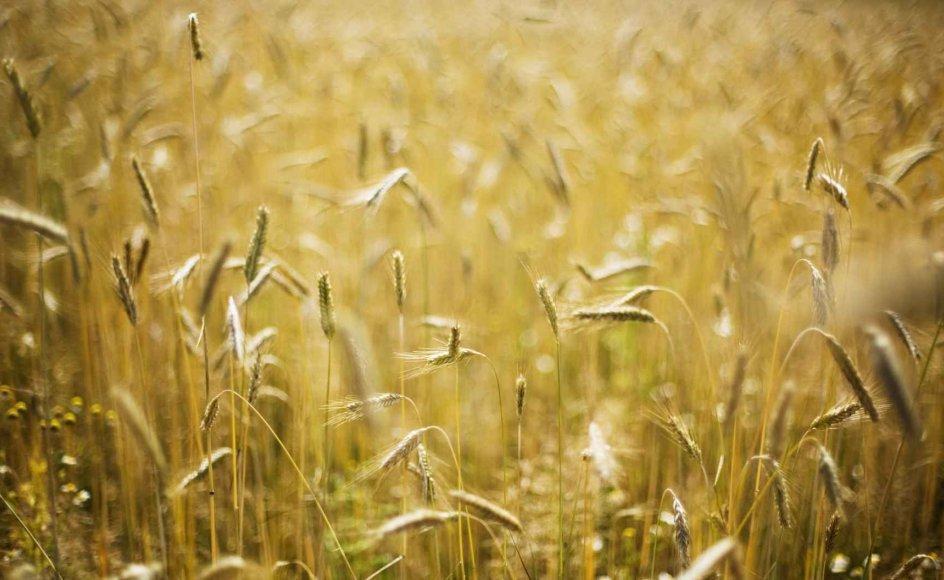 """""""Hver hvedemark om gylden høst, nu varsler til den gamles trøst"""", lyder det i """"Sommerlied"""" af Paul Gerhardt. Foto: Scanpix."""