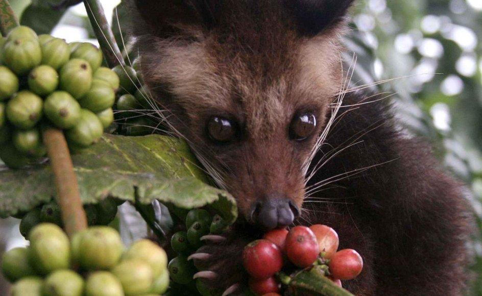 Desmerdyret æder kaffetræets modne bær, og mens bønnerne glider gennem dens fordøjelsessystem, bliver proteinerne nedbrudt, og en gæringsproces går i gang. Dette giver bønnen en mere rund og mindre bitter smag end andre kaffesorter. --