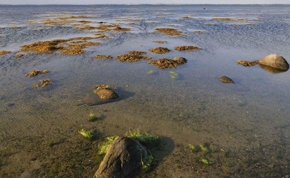En giftig alge ved navn Pseudochattonella farcimen kan true danske fisk. På billedet ses store forekomster af brunalger, blæretang ved Knudshoved Odde, Tang, (Arkivfoto)