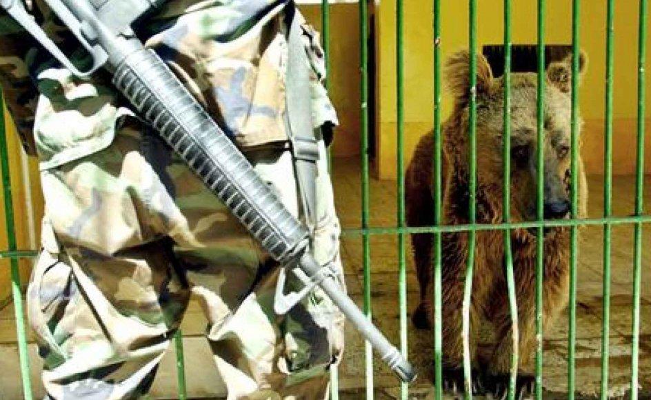 Dyrene i Bagdad Zoo led hårdt under bombardamenter og den USA-anførte invasion af Irak i fjor - en amerikansk sodalt dræbte senere en tiger, der havde bidt en finger af en af hans kammerater under en fest. (Foto: Reuters/Scanpix)