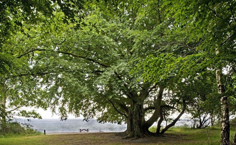 """Ifølge overleveringen var det under dette gamle, prægtige bøgetræ i Stengade Skov, at Adam Oehlenschläger sad, da han forfattede """"Der er et yndigt land"""" under titlen """"Fædrelandssang"""" i 1819. (Foto: Leif Tuxen)"""