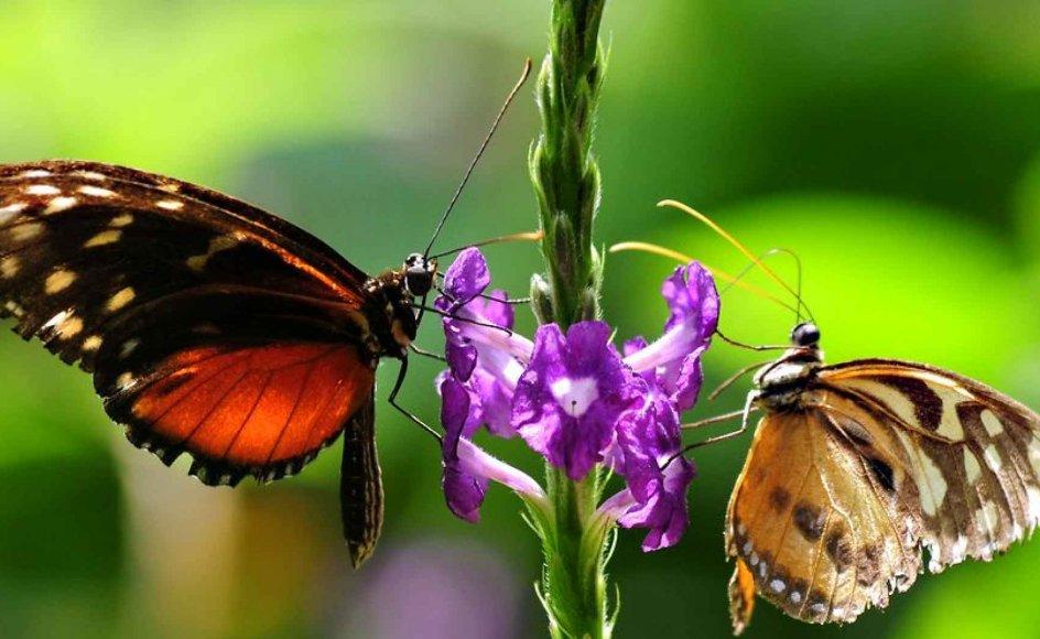 Tag Ole Jensens eksempel med dagsommerfugle. Der er, som han skriver, hundredtusinder af skønne sommerfugle. Hvorfor denne overflod af pragt, spørger han. Det forklares ved evolution - variation og selektion, for eksempel tiltrækning af partnere eller afskrækkelse af fjender, skriver Søren Nørby.