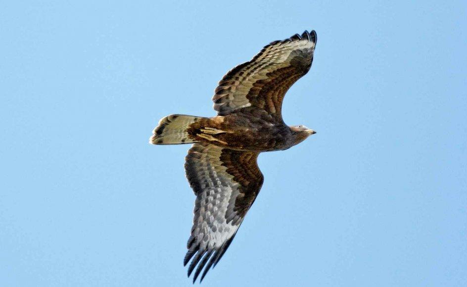 Det er den dygtige flyver hvepsevågen, der med sit imponerende vingefang og smukke svæv står for årets første fugletræk. -