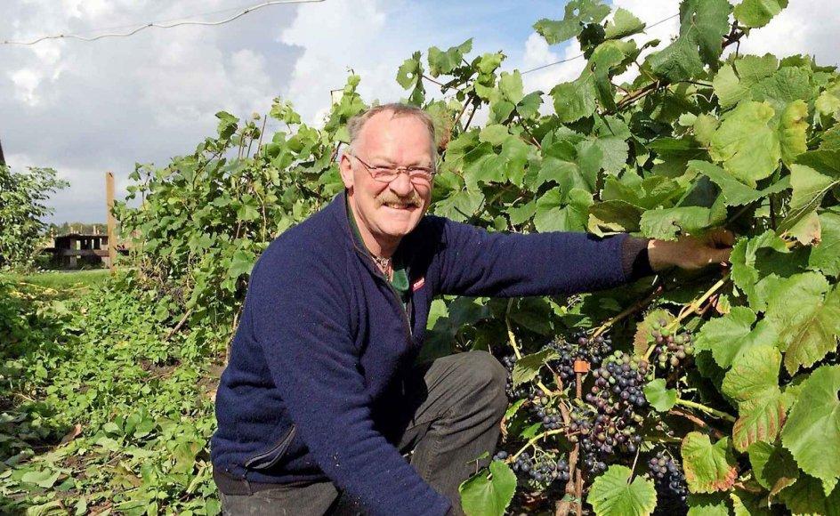 Frank Schmidt er i gang med at fjerne bladene på vinstokkene nede omkring druerne, så klaserne kan tørre og få sol. Alt arbejde på vingården på Fanø foregår manuelt.