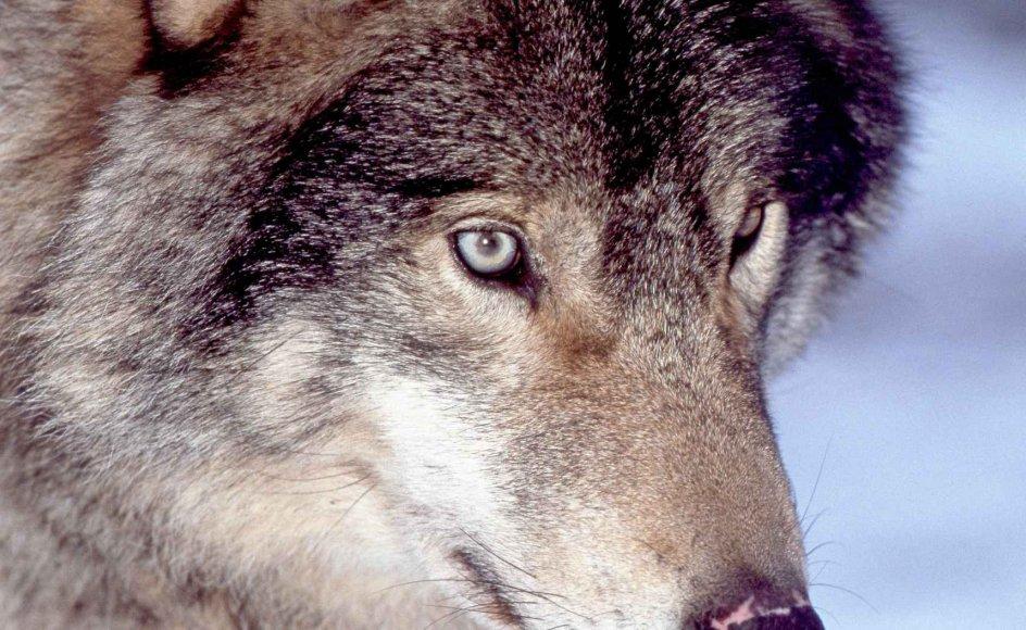 Det har været tilladt at jage ulve i begrænset omfang i det centrale Sverige i år. –
