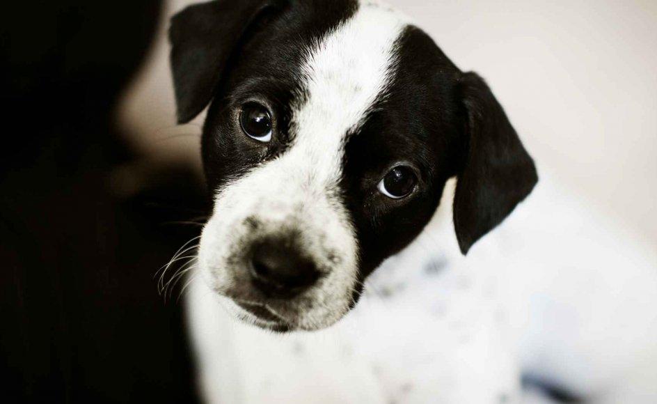 Der er penge i at handle med hunde, siger Hanne Valentin Werner, dyrlæge i Dyrenes Beskyttelse. Modelfoto