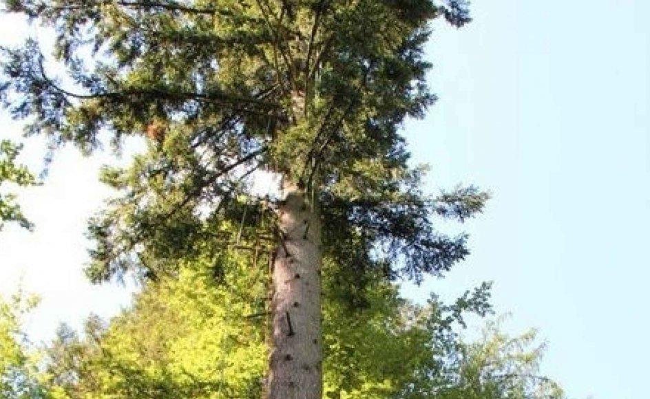 Douglasgrantræet er vidt udbredt i USA, hvor den kan blive langt højere end 53 meter.