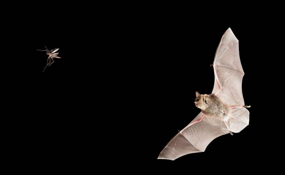 Almindelige danske dyr som for eksempel skæg- flagermusen er på listen over truede pattedyr. –