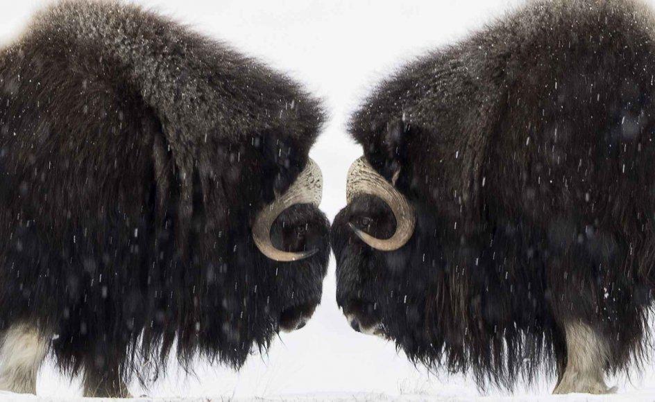 Moskusoksers genetik varierer rigtig meget på tværs af områderne i det canadiske fastland, de canadiske øer og i Grønland. De forskellige grupper af moskusokser er lige så forskellige genetisk som den brune bjørn og isbjørnen er det.
