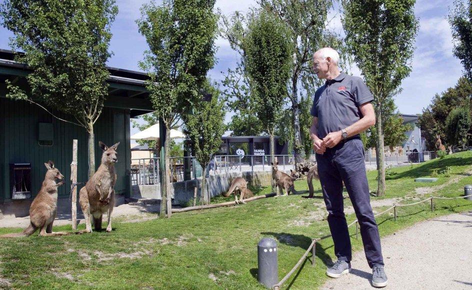 Selvom det ikke svarer til den frie natur at se indhegnede dyr i København Zoo, forsøger Bengt Holst og hans ansatte at gøre omgivelserne så virkelighedsnære som muligt og vække en naturlig adfærd hos dyrene. Og en naturlig interesse for naturen hos gæsterne. Her får zoo-direktøren og et par kænguruer øjenkontakt. – Fotos: Leif Tuxen.
