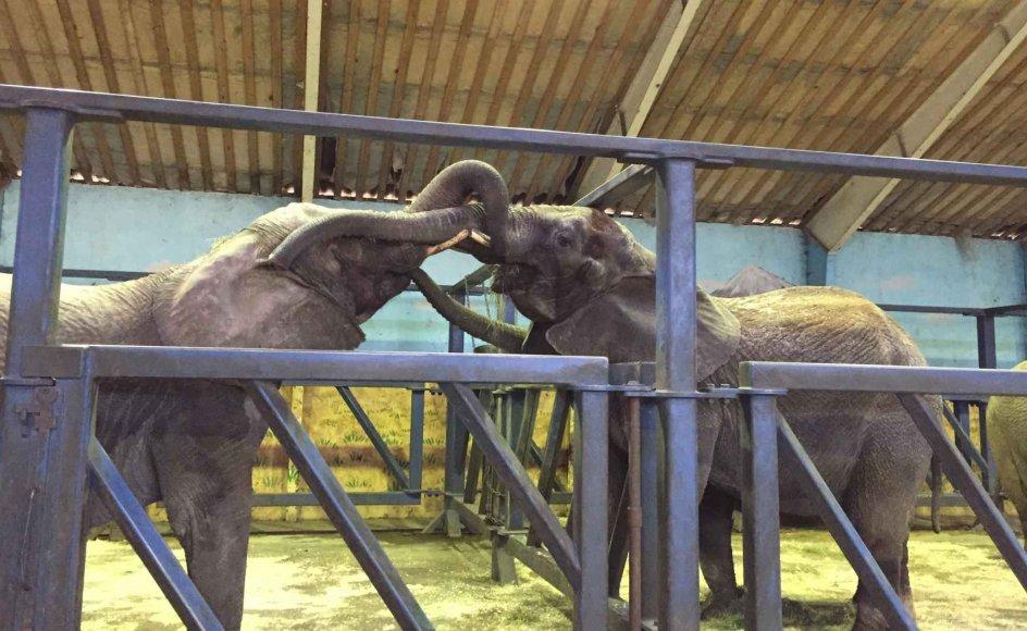 Ramboline hilste for første gang på sin nye flok i elefanternes midlertidige staldanlæg i Slagelse mandag 2. december 2019. Flokken tog godt imod den 36-årige cirkuselefant, som ikke har set andre elefanter i ti år.