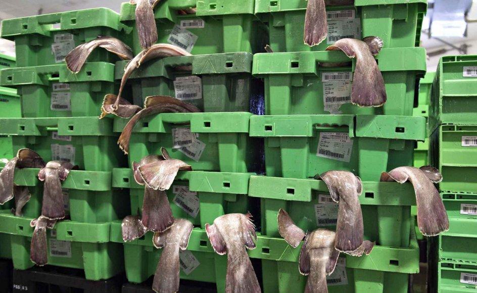 Danmarks Fiskeriforening har vurderet, at værdien af de fisk, som danske fiskere årligt fanger i britisk farvand, udgør omkring 1,2 milliarder kroner. (Arkivfoto).