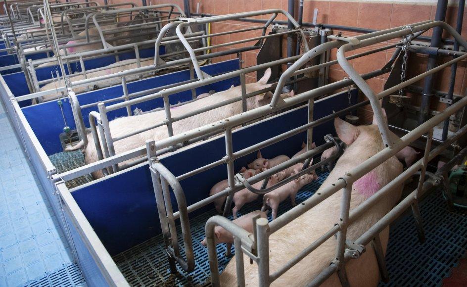 Søer med deres pattegrise i en stald i den tyske delstat Bayern. På baggrund af et europæisk borgerforslag har EU-Parlamentet torsdag taget første skridt på den lange rejse mod at få en europæisk lovgivning, der forbedrer dyrevelfærden. (Arkivfoto)