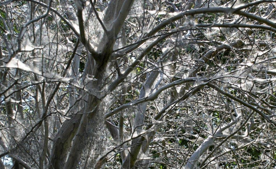 Det ser drabeligt ud, når spindemøl har afløvet et helt træ, men det bliver grønt igen hen på sommeren.
