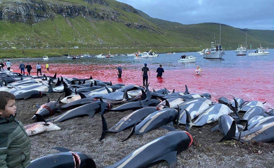 Hundredvis kortnæbede delfiner, der er kendt som hvidsider eller hvidskævinger, er blevet dræbt på Færøerne ved en enkelt aktion, som bliver stærkt kritiseret af miljøgrupper.